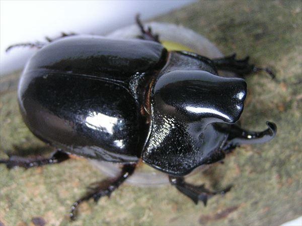 カブトムシ種類 19