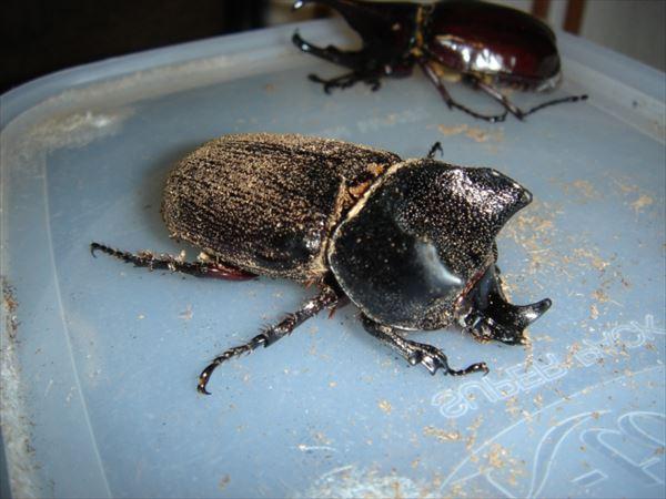 カブトムシ種類 23
