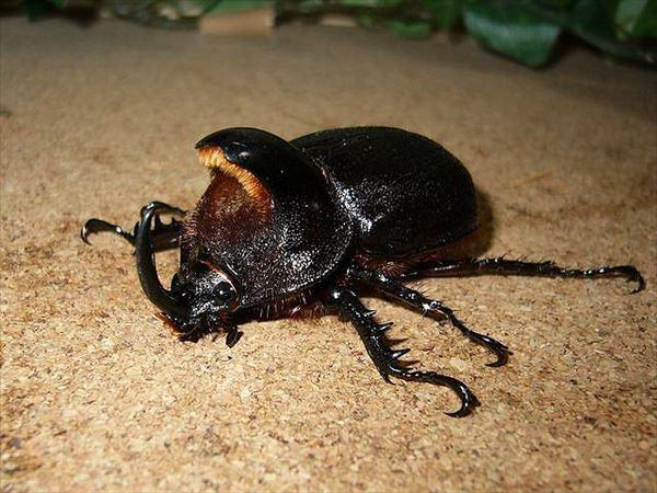 カブトムシ種類 27