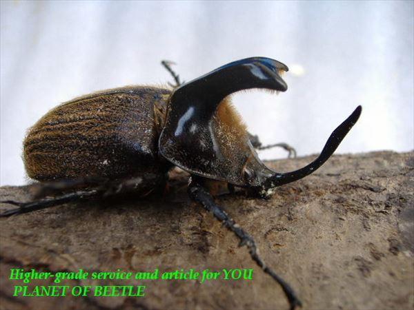 カブトムシ種類 28