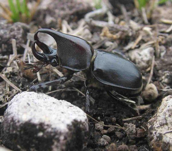 カブトムシ種類 5