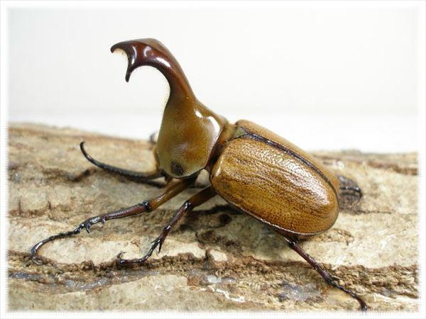 カブトムシ種類 58