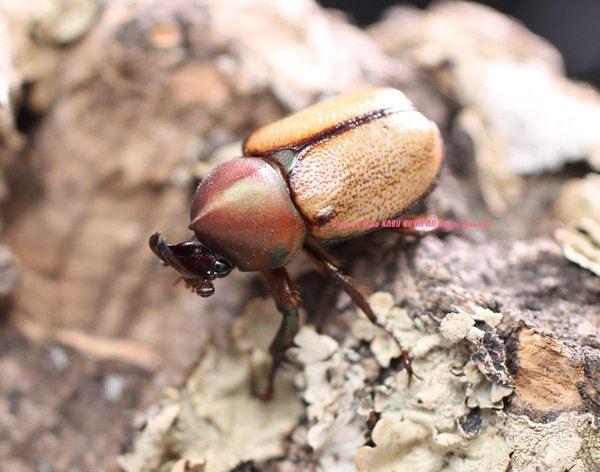 カブトムシ種類 6