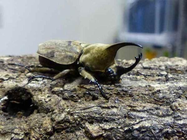 カブトムシ種類 8