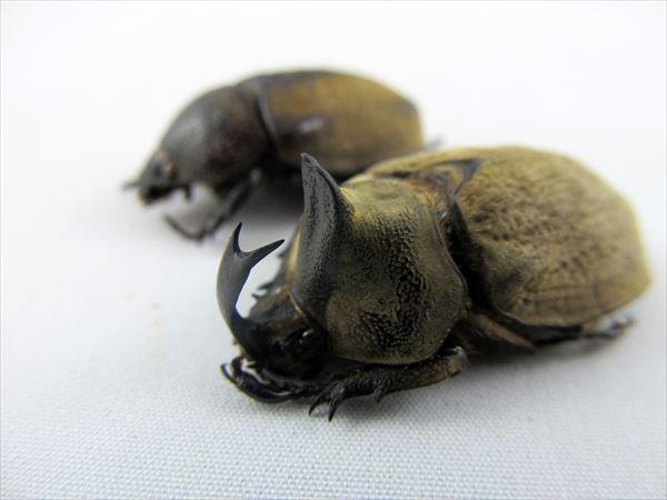 カブトムシ種類 9