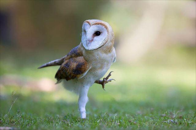 フクロウ画像 37