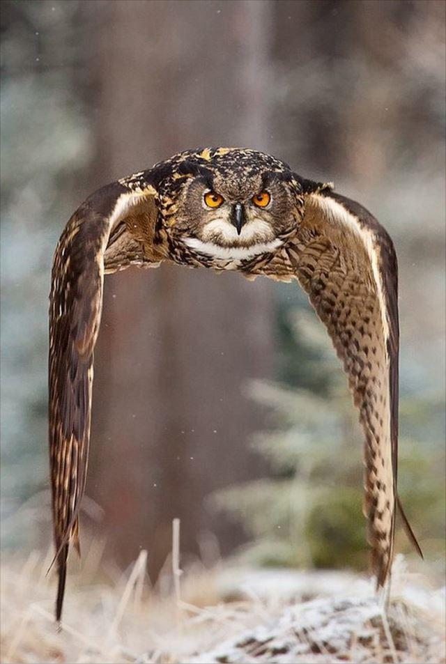 フクロウ画像 43