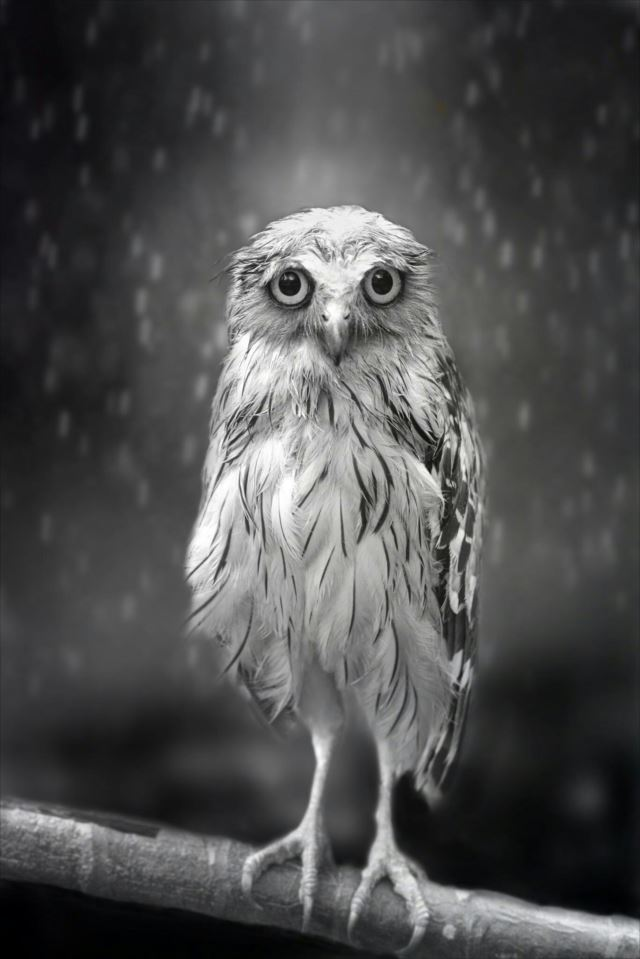 フクロウ画像 53