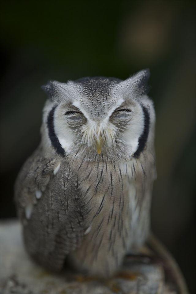 フクロウ画像 71