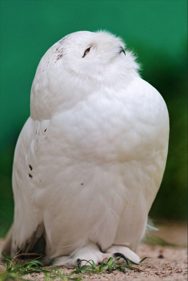 フクロウ画像 76