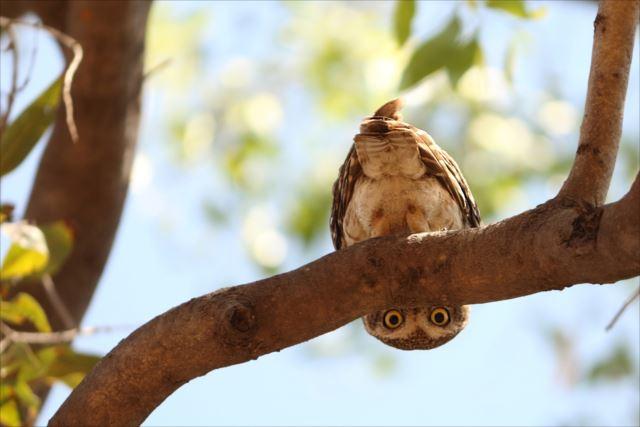 フクロウ画像 9