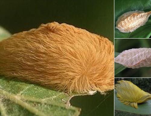 世界の危険な毛虫 7種 Ailovei
